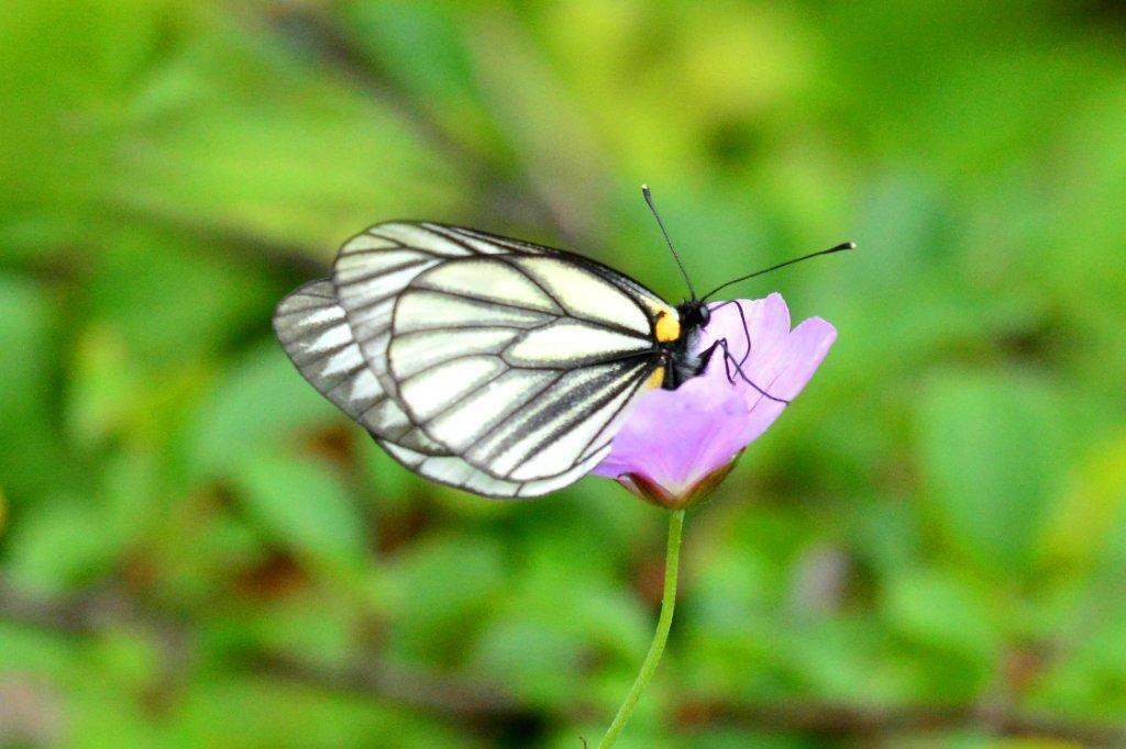 「ミヤマシロチョウ」とはどんな蝶?絶滅が危惧される希少なチョウチョなのだそうです。