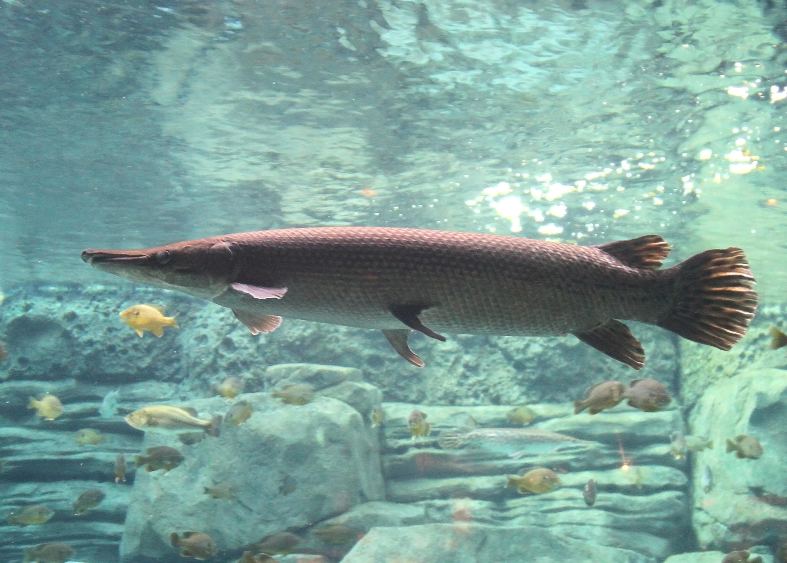 「アリゲーターガー」とはどんな魚?本来はアメリカ南部からメキシコ等に生息する外来魚との事。