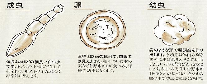 「エキノコックス」とはなんですか?主に北海道で、キタキツネや野ネズミに寄生する寄生虫との事。