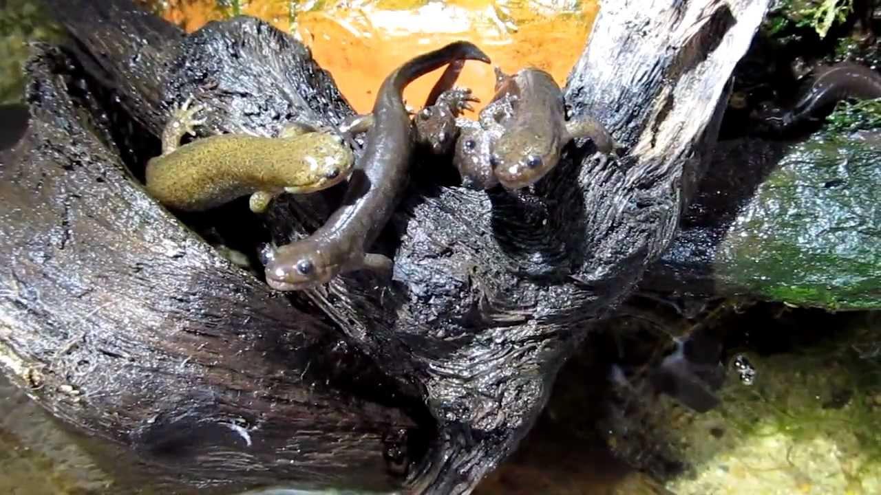 「カスミサンショウウオ」とはどんな生き物?レッドリストに入っている日本固有種との事。