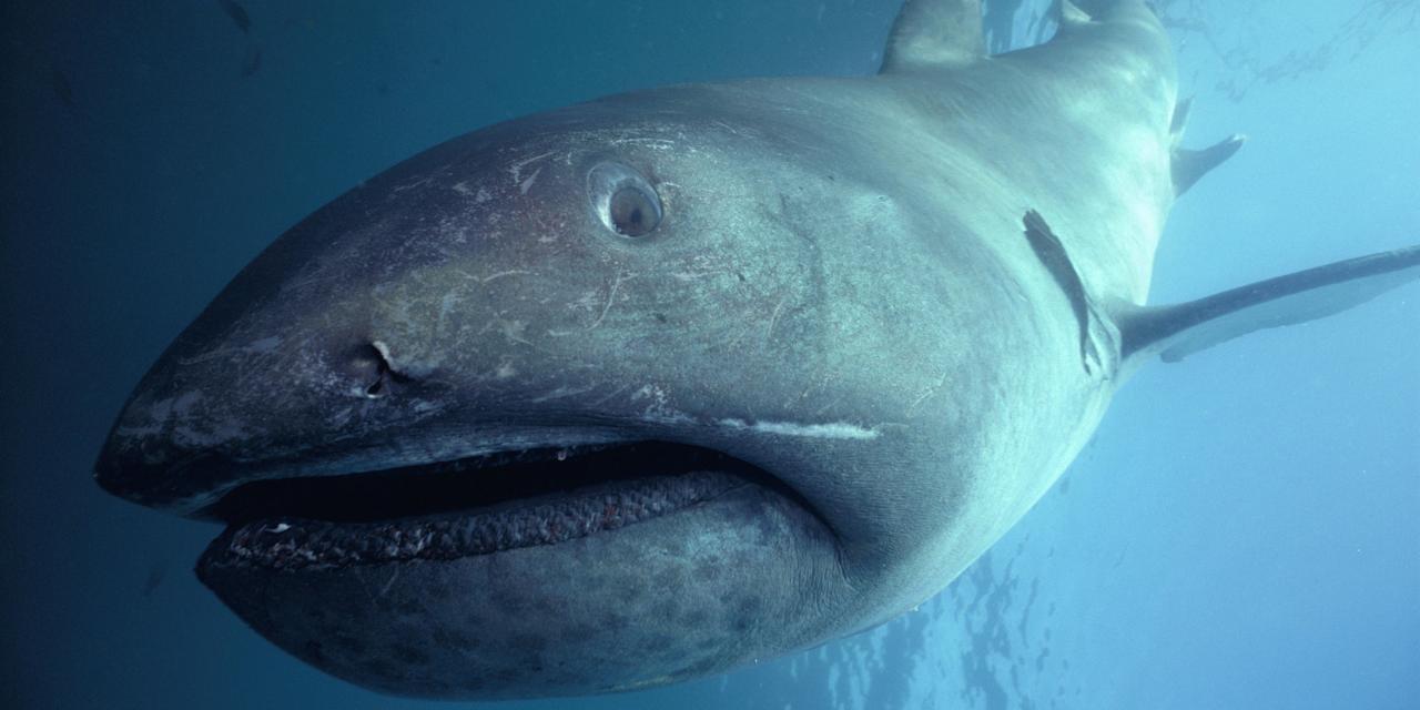「メガマウス」とはどんな生物?大変貴重な、大きな口を持ったサメの一種との事。