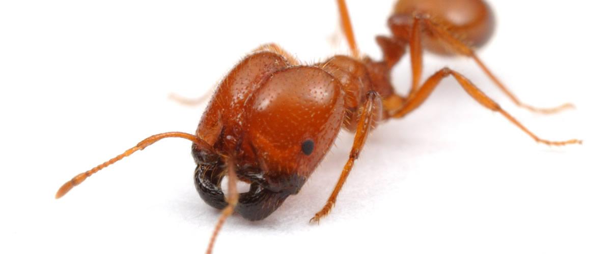 「アカカミアリ」とはどんな生物?アメリカ原産のアリの一種との事。