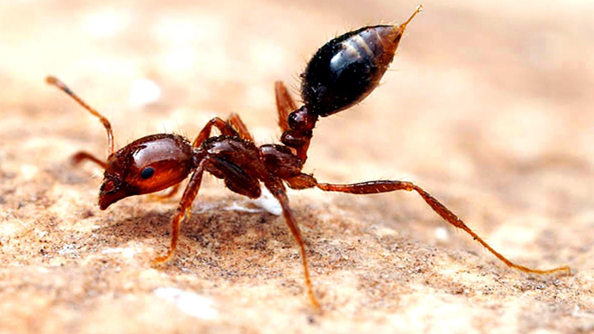 「ヒアリ」とはどんな生物?漢字で「火蟻」と記述する、強力な毒をもつ蟻(アリ)の一種との事。