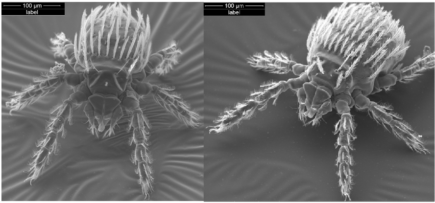 「ツツガムシ」とはどんな虫?マダニと同様にダニの一種で、ツツガムシ病なる病気を発症する危険もあるとの事。
