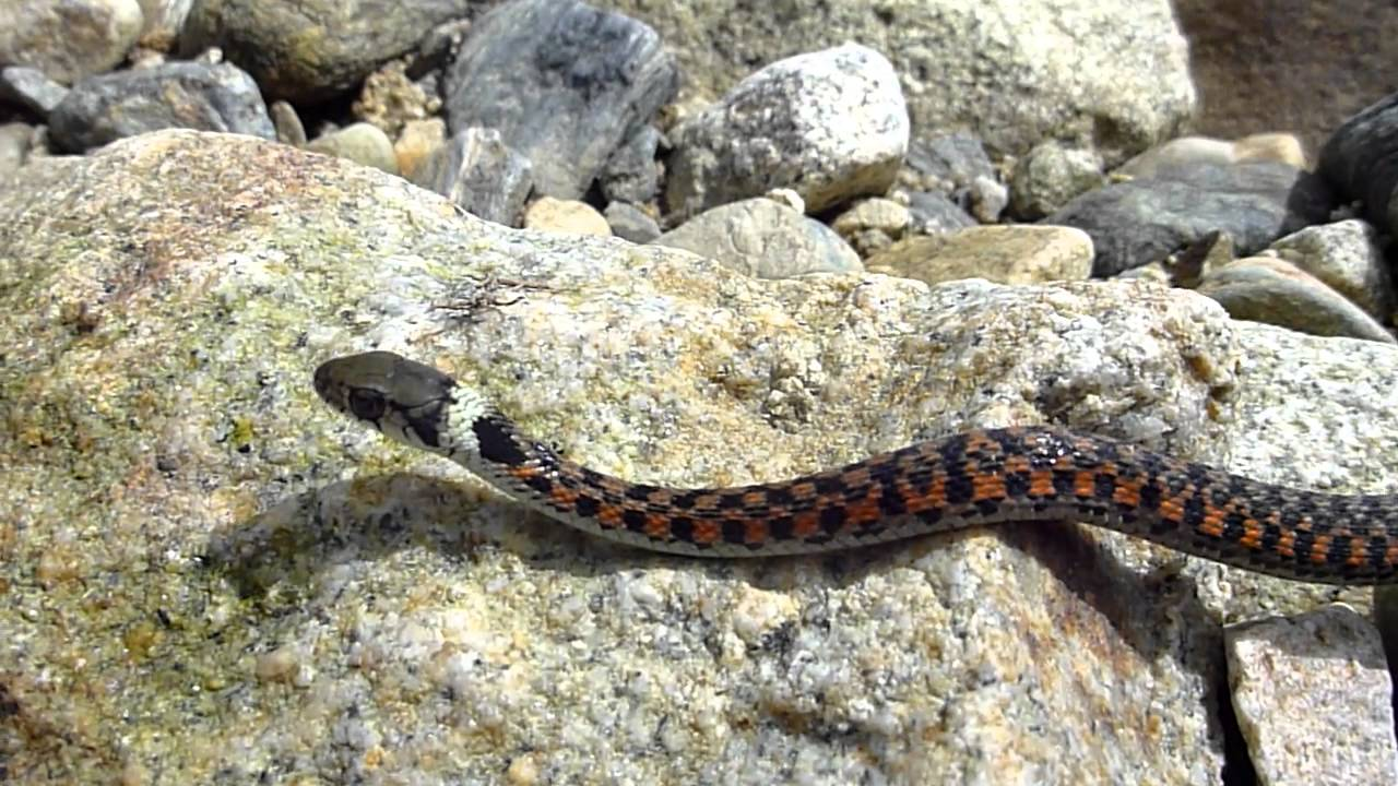 「やまかかし(山案山子)」とは間違い?正解は「ヤマカガシ」との事。マムシの三倍もの毒を持つ日本全国に生息するヘビ。