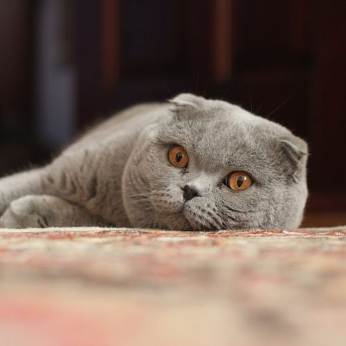 Scottish_Fold