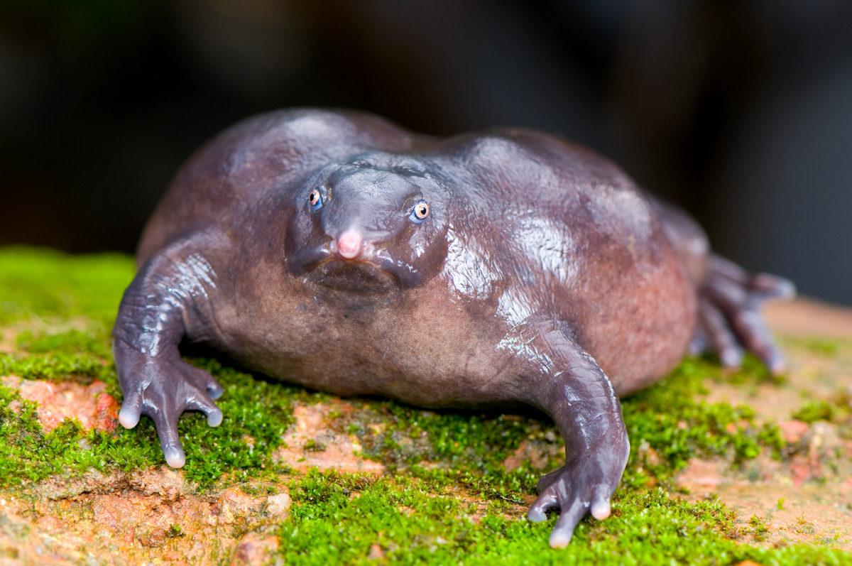 「インドハナガエル」とはどんな生物?名前の通りインド固有のカエルの一種との事。
