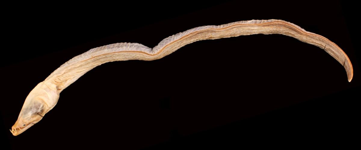 「キバウミヘビ」とはどんな生物?大西洋に生息するウミヘビの一種との事。