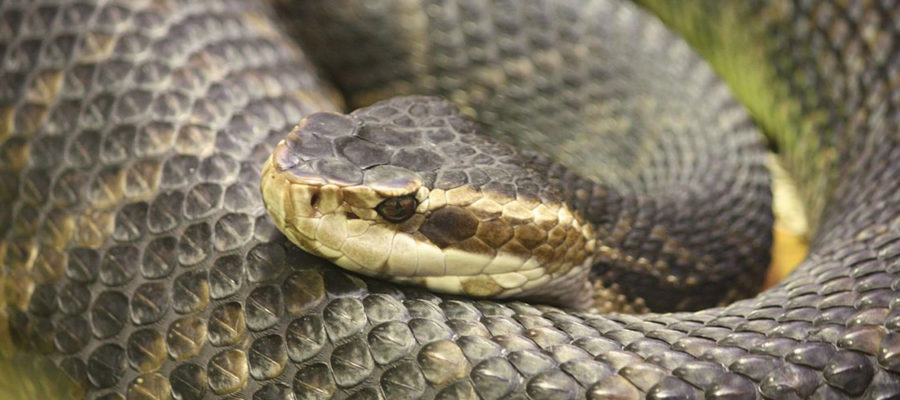 Florida_Water_Moccasin