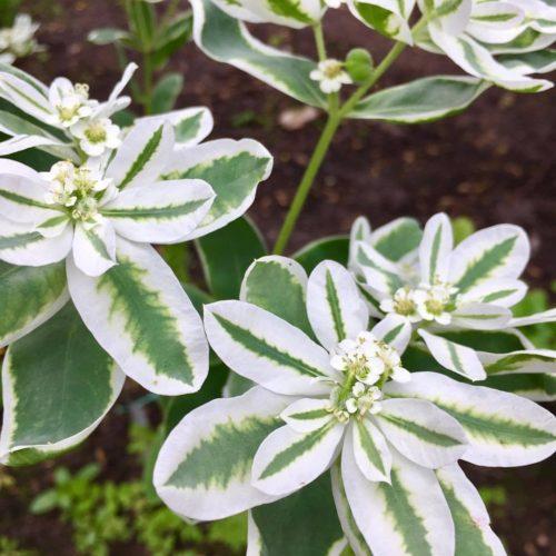 Euphorbia_marginata
