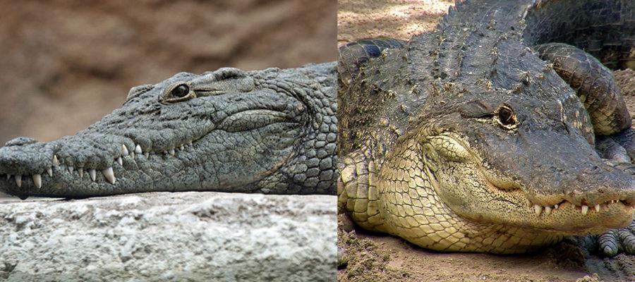 Crocodilia-alligator