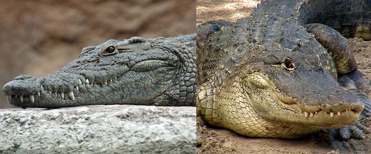 ワニを英語で言うと「Crocodilia(クロコダイル)」と「Alligator(アリゲーター)」。「クロコダイル」と「アリゲーター」の違いとは?