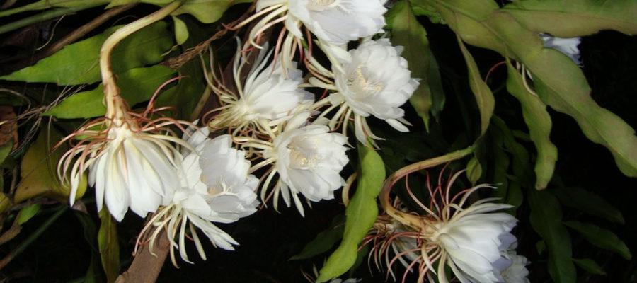 Epiphyllum-oxypetalum