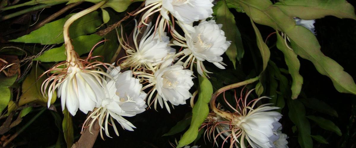 「月下美人」とはどういう植物?メキシコ原産のサボテン科、多肉植物になるとの事。