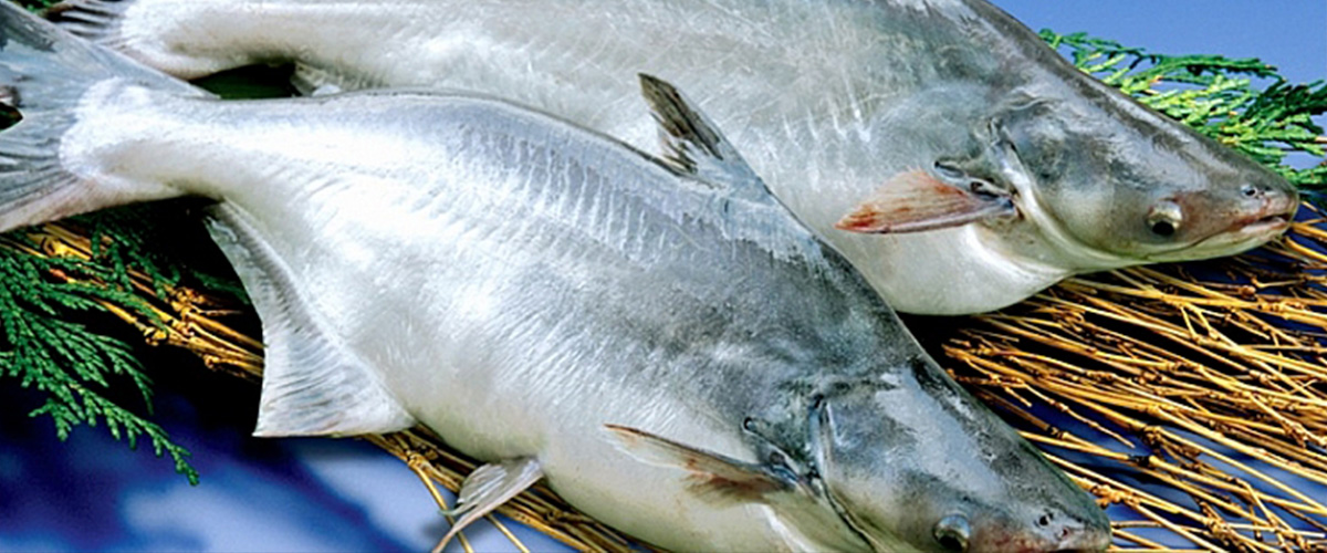 「パンガシウス」とはどういう魚?「バサ」とも呼ばれる英語で「Pangasius」と記述されるナマズの一種になる模様。