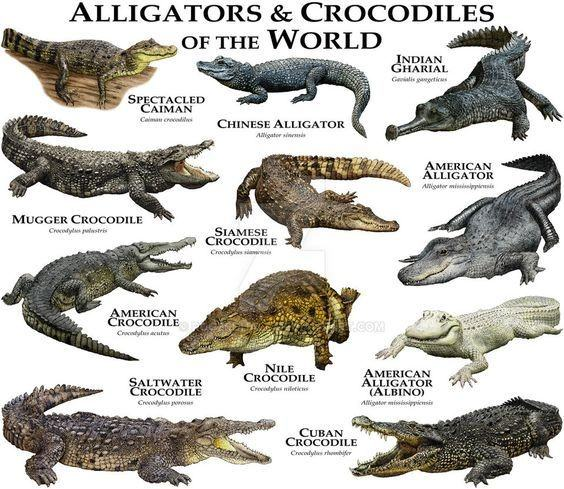 Crocodilia-alligator