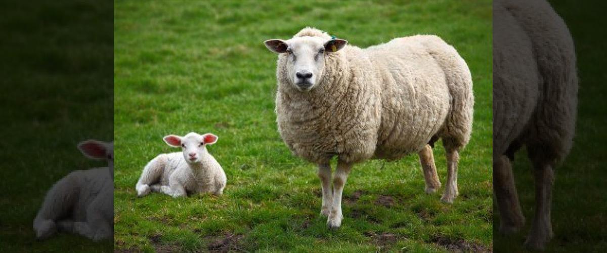 そもそも「ムートン」とはどういう意味?英語で「mouton」と記述するとの事。
