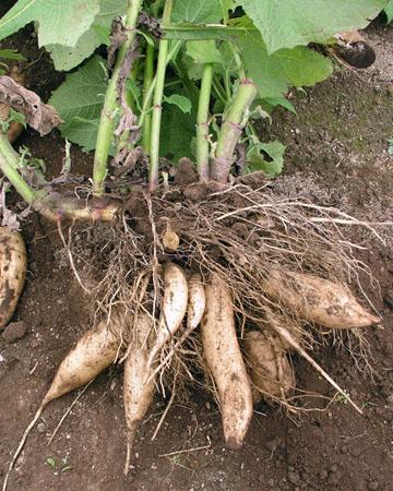 「ヤーコン」とはどういう野菜?アンデス山脈原産の根菜(こんさい)との事。