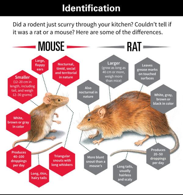 マウス ラット 違い ラットとマウスの違いって?同じねずみなのに、実はこんな違いがあっ...
