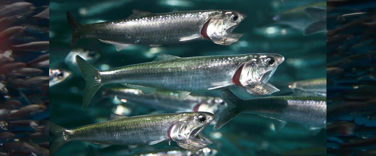 そもそも「アンチョビ」とはどういう意味?英語で「anchovy」と記述されるとの事。