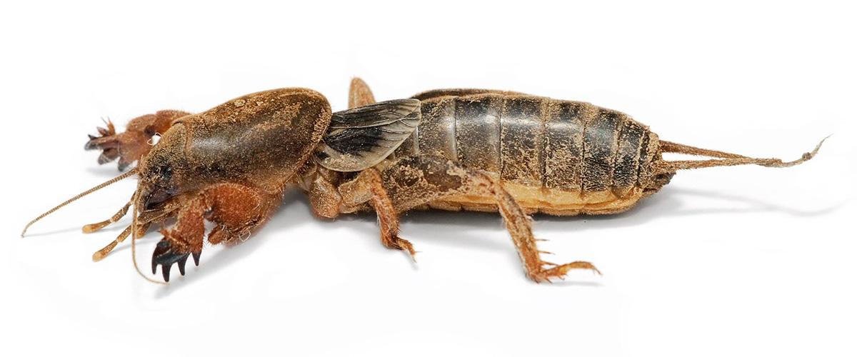 そもそも「おけら」とはどんな虫?コオロギの仲間の昆虫になるとの事。