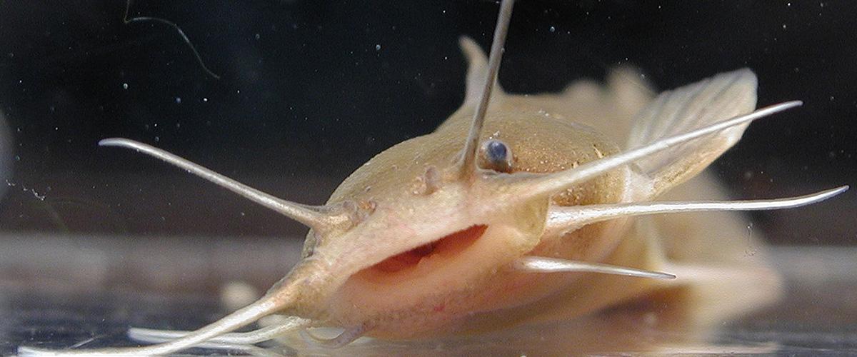 「アカザ」とはどういう魚?漢字で「赤佐」と記述するとの事。