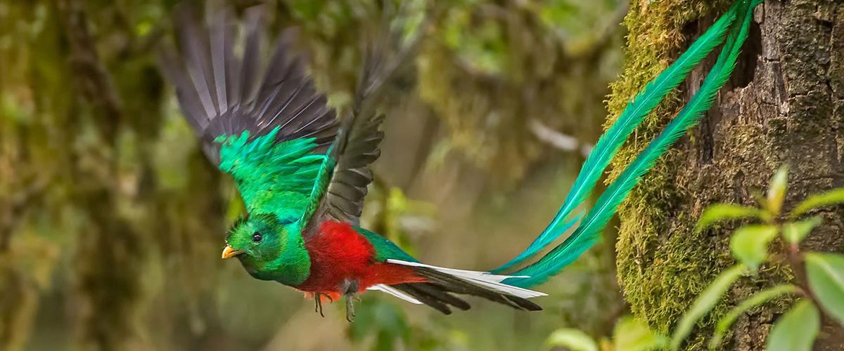 「ケツァール」とはどんな鳥?スペイン語、または英語で「Quetzal」と記述するとの事。