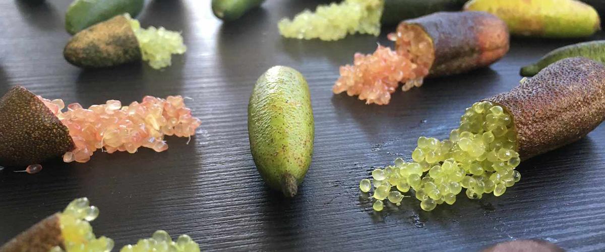 「キャビアライム」とはどういうもの?「Finger lime(フィンガーライム)」と呼ばれるフルーツになるとの事。
