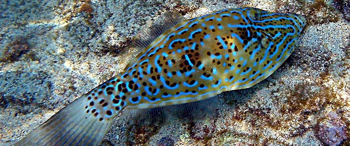「ソウシハギ」とはどんな魚?漢字で「草紙剥」と記述するとの事。