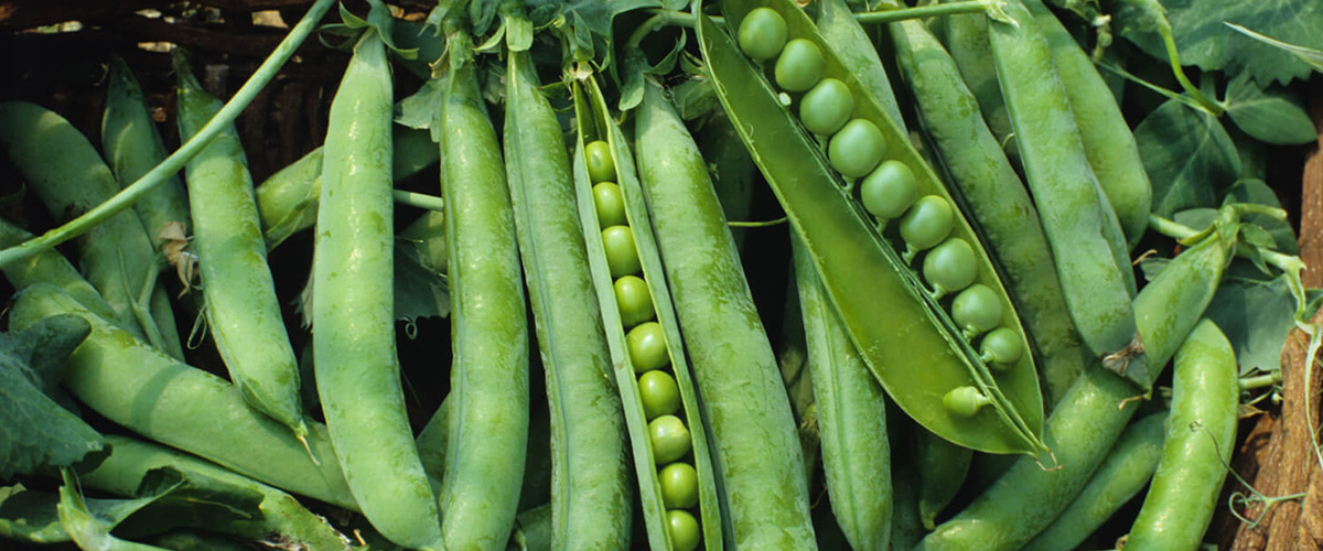 そもそも「グリーンピース」とはどういう意味?英語で「green pea」と記述するとの事。
