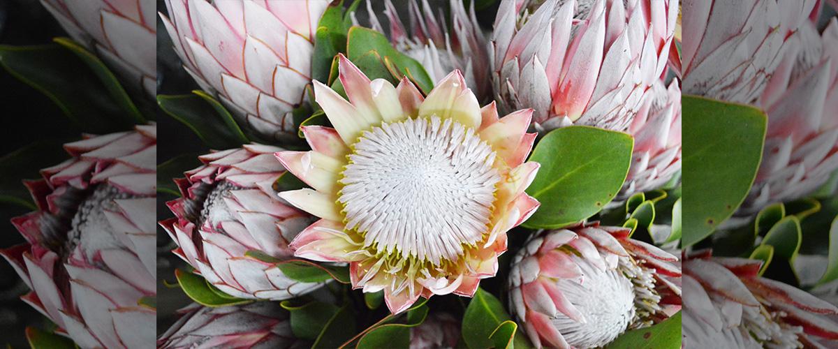 「キングプロテア」とはどういう意味?英語で「King protea」と記述するとの事。
