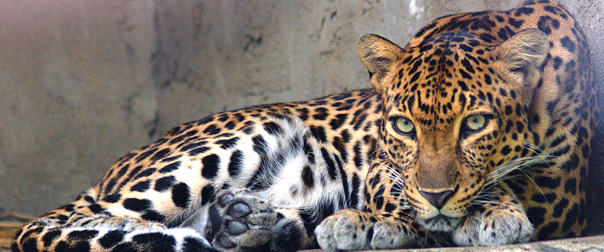 「レオパード柄」とはどんな柄?英語で「Leopard」と記述するとの事。