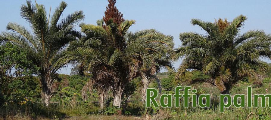 Raffia-palm