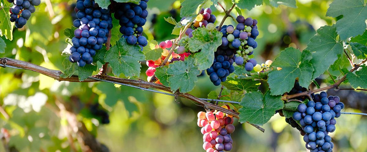 「ピノ・ノワール」とはどういう意味?フランス語で「Pinot Noir」と記述するとの事。