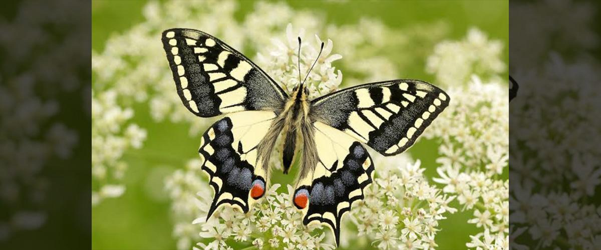 「スワロウテイル」とはどういう意味?英語で「swallowtail」と記述するとの事。