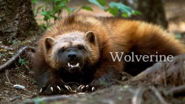 「ウルヴァリン」とはどういう意味?英語で「Wolverine」と記述するとの事。