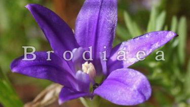 「ブローディア」とはどういう意味?アルファベットで「Brodiaea」と記述するとの事。